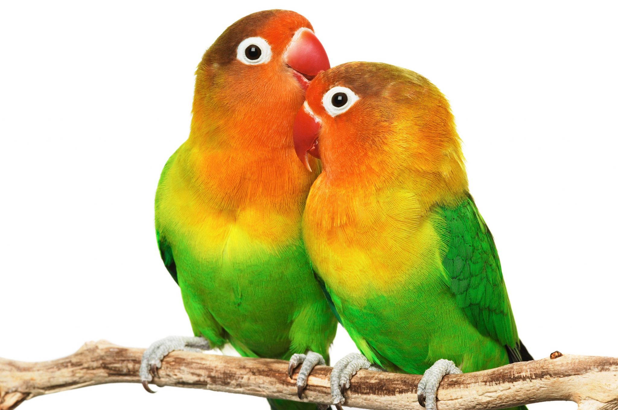 Love Talk | Love Bird